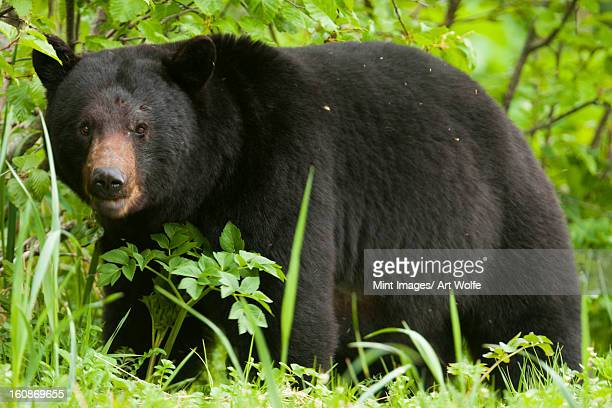 Black bear, Glacier National Park and Preserve, Alaska, USA