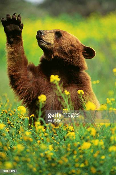 Black bear (Ursus americanus) in field of wildflowers, paw raised