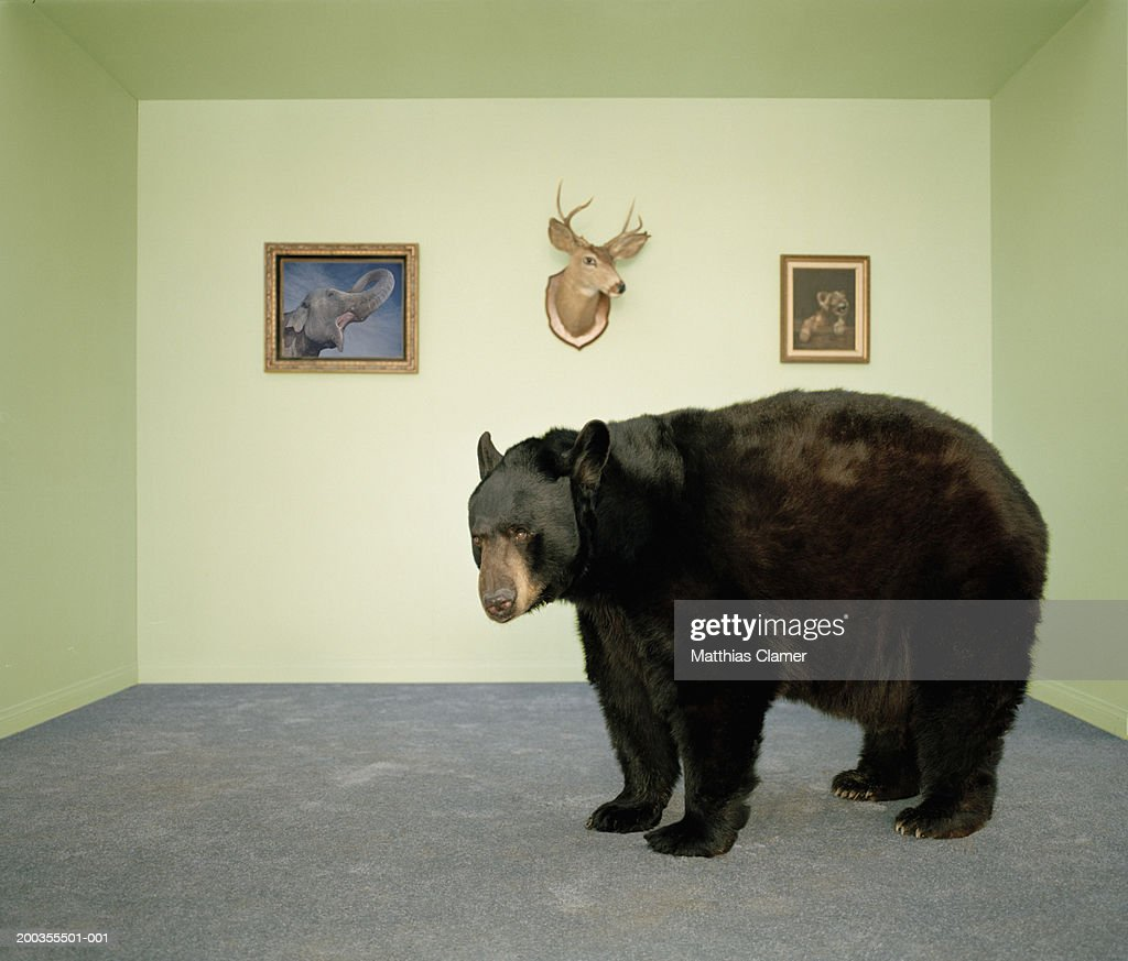 Black bear in living room, side view : Stock Photo