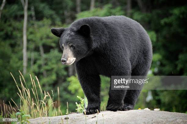 Black bear in the wilderness on a rock