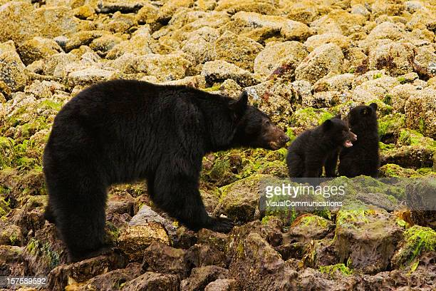 Madre con black bear cubs.