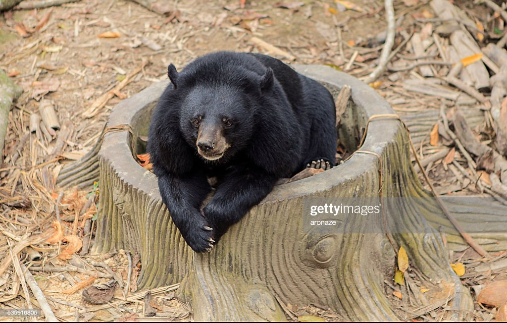 black bear : Stock Photo