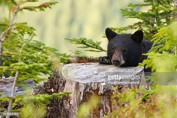 black bear resting on tree trunk.