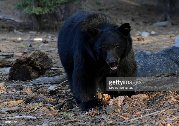 A black bear scavenges for food beside tourists near the famous General Sherman tree at the Sequoia National Park in Central California on October 10...