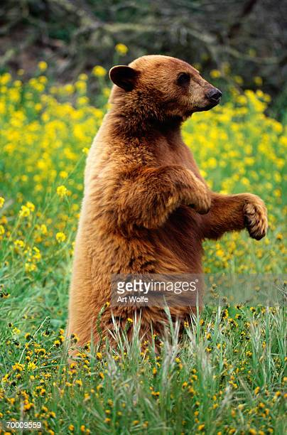Black bear (Ursus americanus) standing in meadow, California, USA