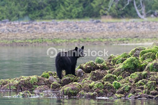 black bear standing on rocks ストックフォト thinkstock