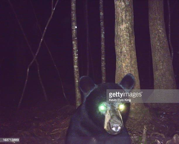 Black Bear Surprised at Night