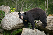 Black Bear Animal Wildlife in Western North Carolina Mountains