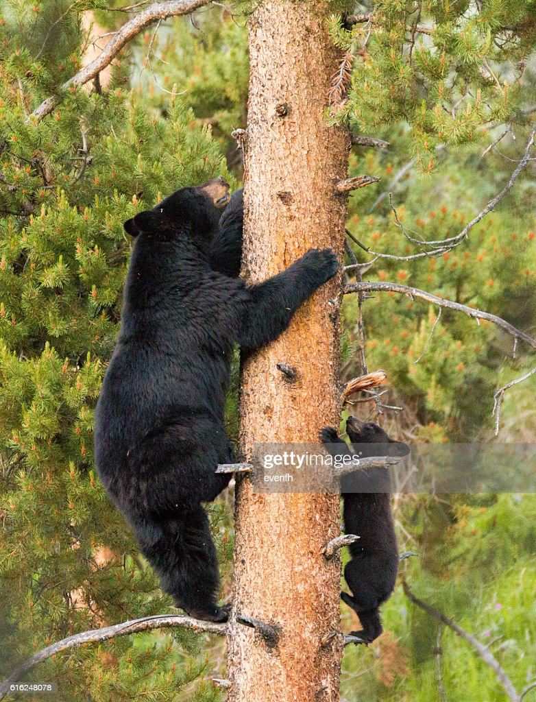 Black bear with cub climbing in Yellowstone National Park : Foto de stock