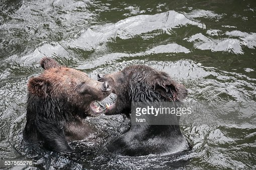 Black Bears Fighting in a River