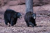 Black bears playing