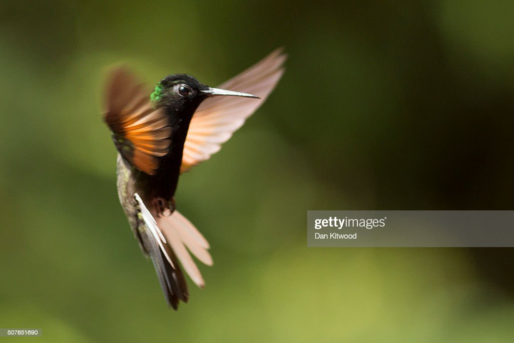A Black Bellied Hummingbird is pictured at a Hummingbird feeding station on January 15, 2016 in Alajuela, Costa Rica. Of the 338 known species of Hummingbird worldwide there are around 50 in Costa Rica. Hummingbirds are named for the distinctive sound made by their tiny beating wings, and are admired for their vibrantly coloured iridescent plumage. Their ability to hover, with wings beating between 12 and 90 times a second, and to fly backwards makes them different from all other birds. They are some of the smallest birds in the world and have the highest metabolic rate of any bird with a heart rate that can exceed 1,200 beats a minute. They can hear and see better than humans, but have a poor sense of smell. Hummingbirds eat at least half their body weight in food every day, darting between flowers to lap up nectar. They are generally solitary, very territorial and can be incredibly aggressive towards other birds. At night they go into a state of torpor to help conserve energy, and occasionally can be found sleeping upside down like bats on branches.