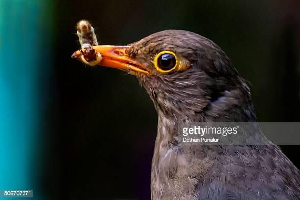 Black Bird (Turdus merula) close up