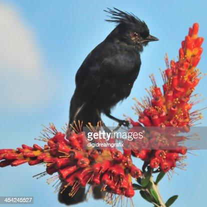 black bird on red flower : Stock Photo
