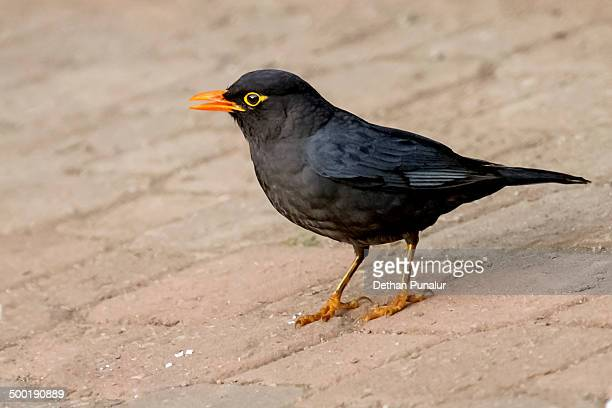 Black Bird (Turdus merula)