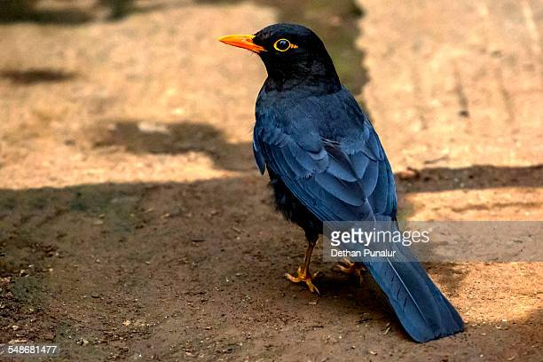 Black bird Turdus merula