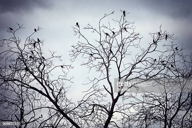 Black birds sitting in a tree with no leaves