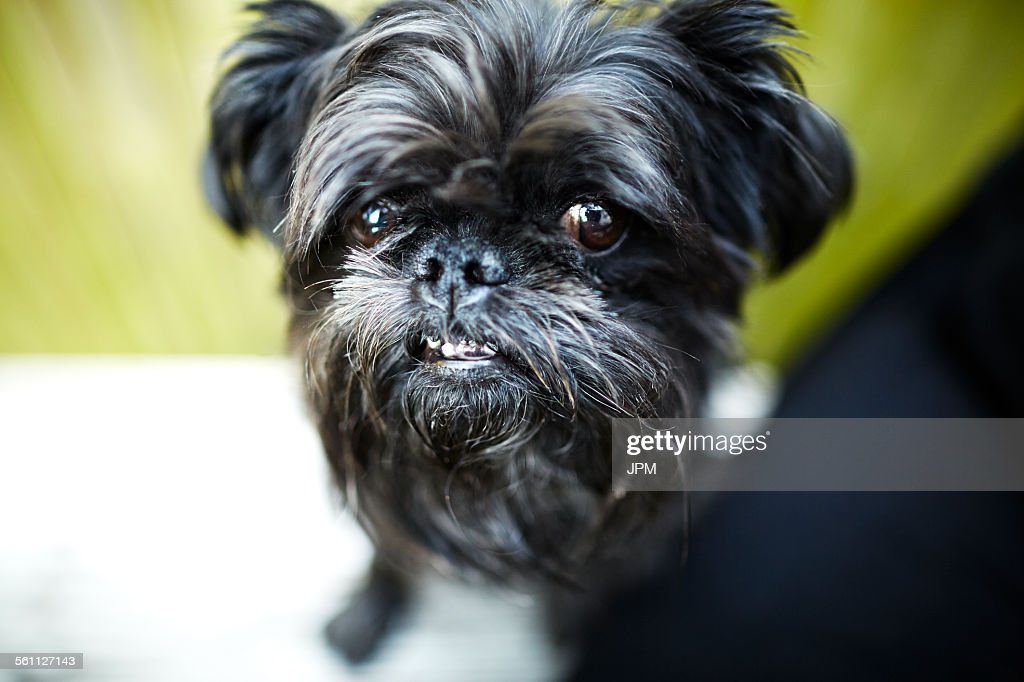 Black brussels griffon dog looking at camera
