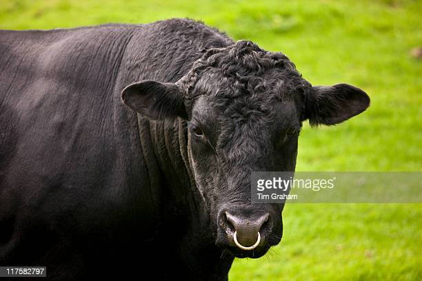 Black bull with ring through nose in paddock meadow in The Cotswolds Oxfordshire England United Kingdom