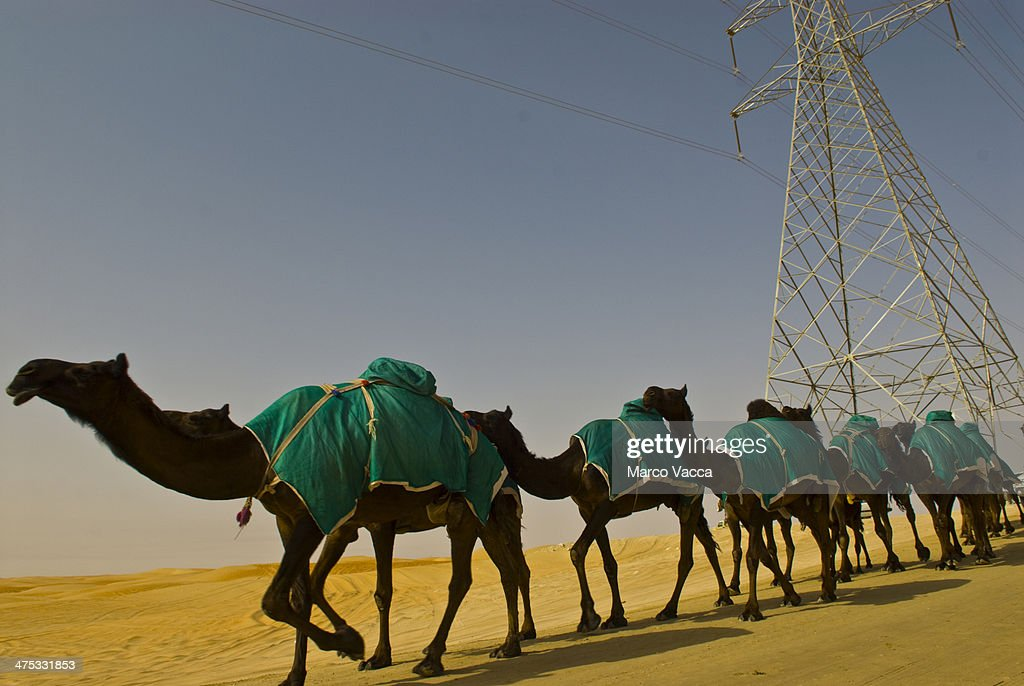 Black cameles lined up in the desert : Stock Photo