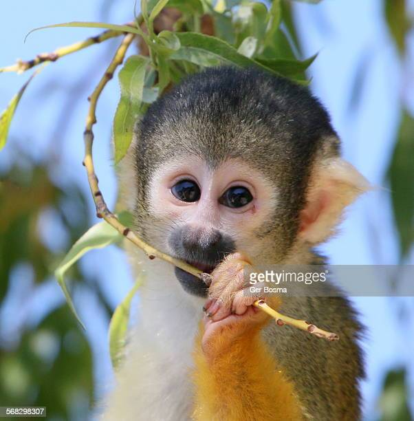 Black capped squirrel monkey