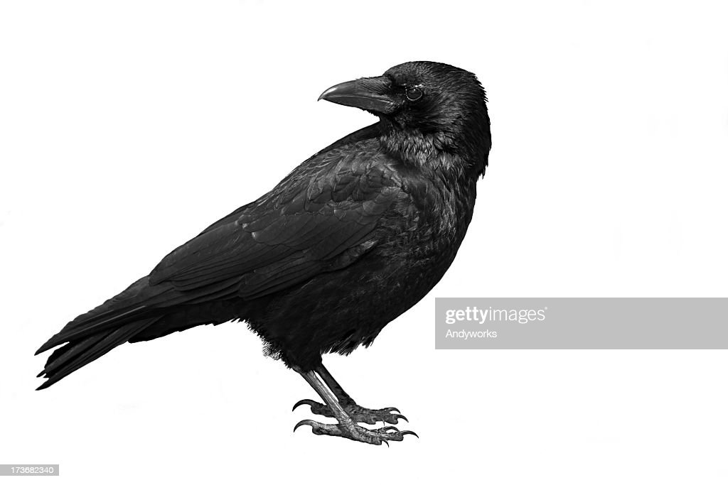 A black carrion crow on a white background