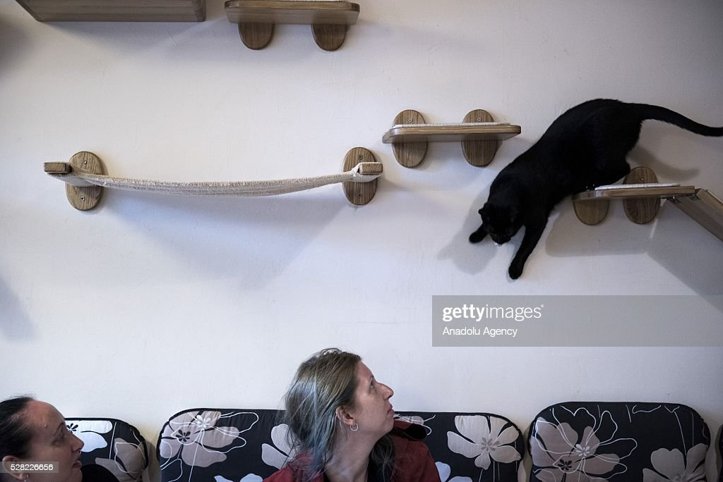 A black cat jumps trough the shelves at the Cat Caffee, Krowoderska 48, Krakow, Poland on May 4, 2016. The Cat Coffee is an attraction for the cat lovers and it is open since the end of June 2015 and has six cats. Two of the cats came from the ' Kocia Academia' fondation and the other four cats were or found on the street.