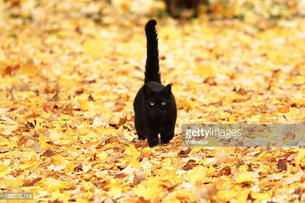 Black Cat on Autumn Yellow Leaves