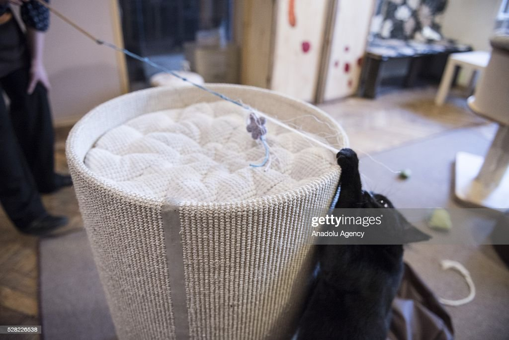 A black cat plays at the Cat Caffee, Krowoderska 48, Krakow, Poland on May 4, 2016. The Cat Coffee is an attraction for the cat lovers and it is open since the end of June 2015 and has six cats. Two of the cats came from the ' Kocia Academia' fondation and the other four cats were or found on the street.