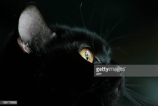 A black cat takes part in cat exhibition in Sofia Bulgaria 14 April 2007 AFP PHOTO / BORYANA KATSAROVA