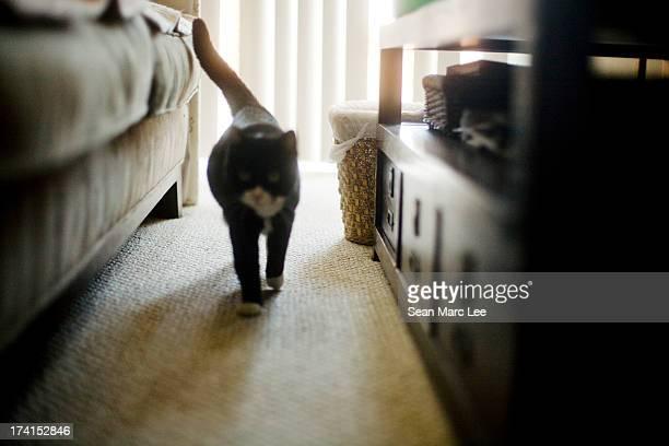 A black cat walks