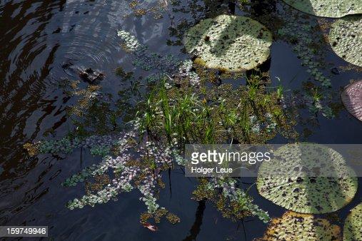 Black cayman lurks at Lago Vitoria Regia on Amazon : Stock Photo