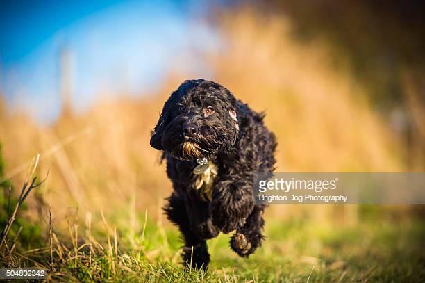A black Cockapoo dog running along a path