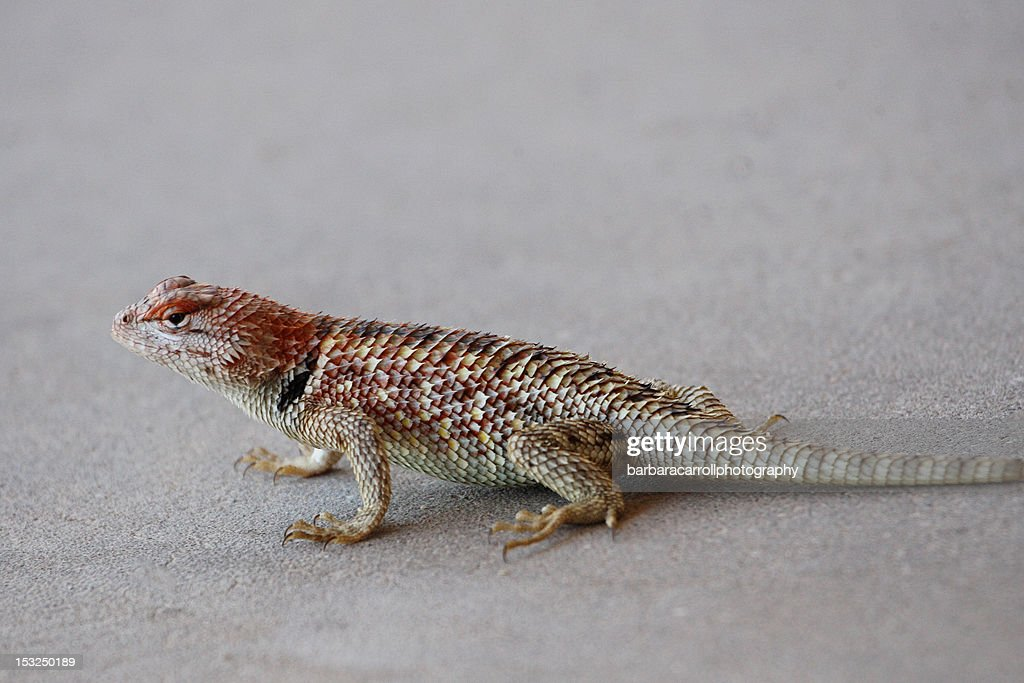 Black collared lizard : Stock Photo