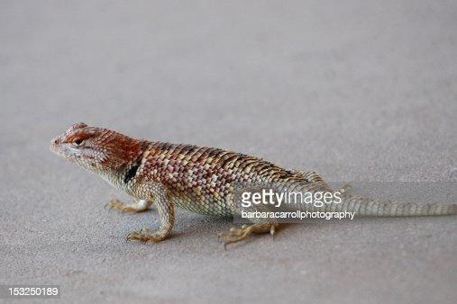 Black collared lizard : Stock Photo