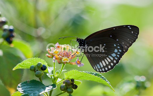 black color butterfly on flower 2 stock photo - Color Butterfly 2