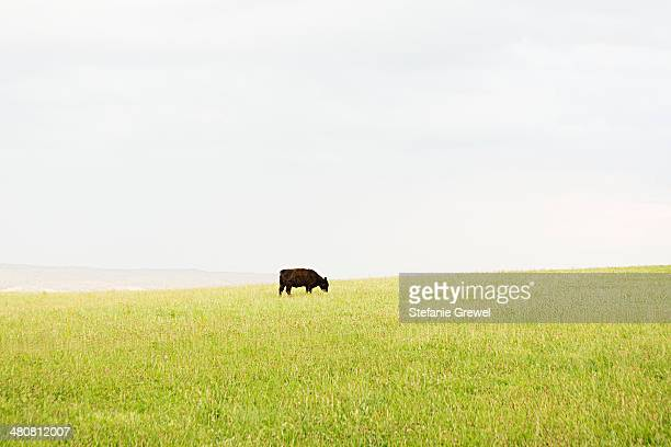 Black cow grazing alone in grassy meadow