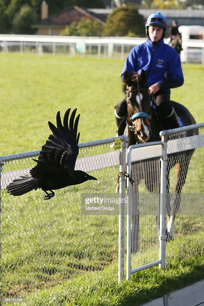 A black crow flies past Aaron Madden on Simonen during trackwork ahead of the Melbourne Cup at Werribee Racecourse on November 4, 2013 in Melbourne, Australia.