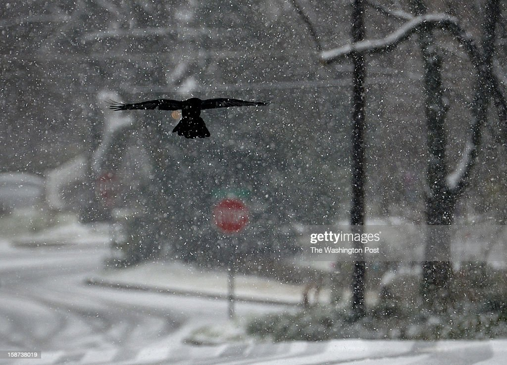 A black crow glides through falling snowflakes over Brunett avenue as wintry weather descends on the region on December, 26, 2012 in Silver Spring, Maryland.