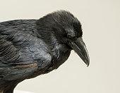 Black crow looking studio portrait on gray background