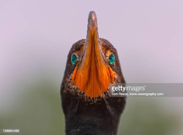 Black crowned cormorant