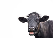 Black cute cow isolated on white background