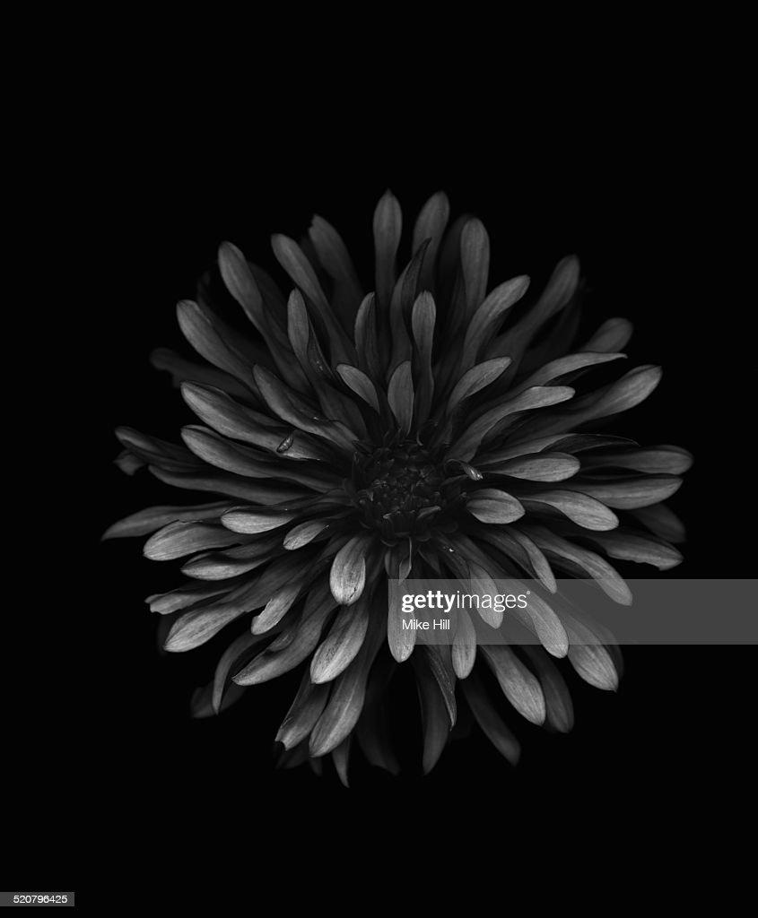 Black dahlia on black background
