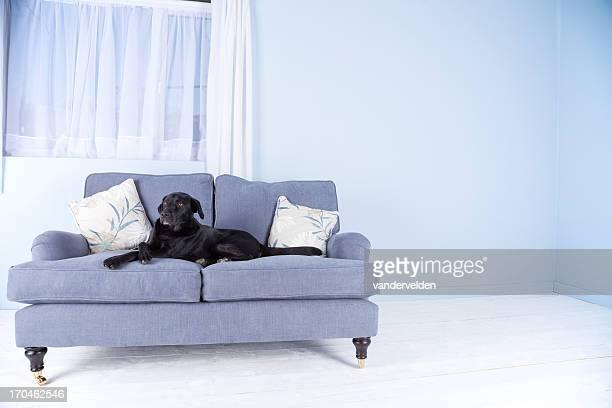 Schwarzer Hund, blue sofa