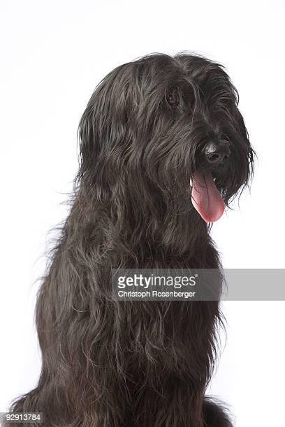 Black dog, Briard
