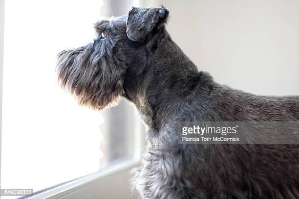 Black Dog Looking Outside
