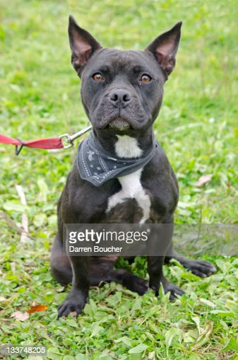 Black dog : Stock Photo