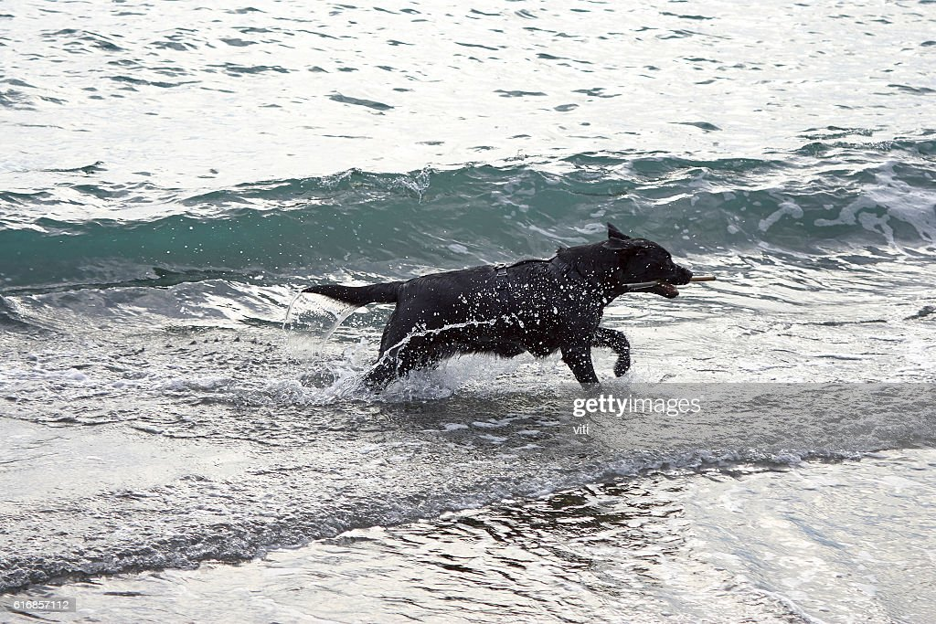 black dog play with water on the beach : Stock Photo
