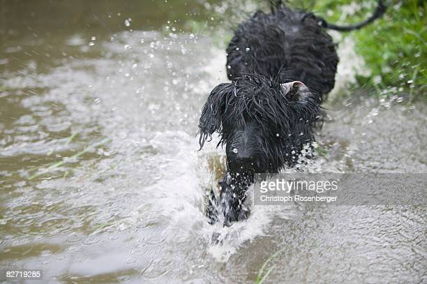 black dog running through water