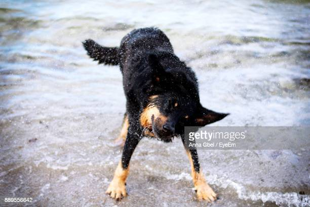Black Dog Shaking Off Water On Shore